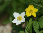 Title: White and Yellow Relatives