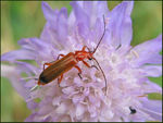 Title: Red Soldier Beetle