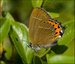 Title: Black Hairstreak Female