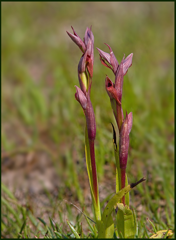 Small-flowered Tongue Orchid