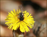 Title: Solitary Bee on Coltsfoot