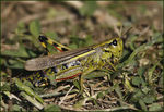 Title: Large Marsh Grasshopper female