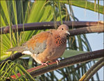 Title: Laughing Dove