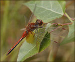 Title: Yellow-winged Darter
