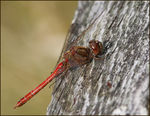 Title: Male Moustached Darter