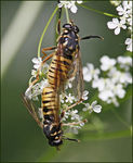 Title: Wasp-like Tigerfly
