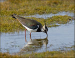 Title: Lapwing Female