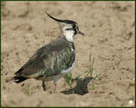 Title: Female Lapwing