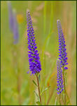 Title: Spiked Speedwell