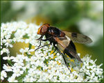 Title: A Cleaning Hoverfly