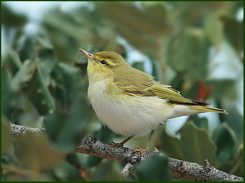 Wood Warbler looking for insects
