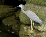 Title: White-faced Heron