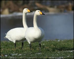 Title: A Pair of Whoopers