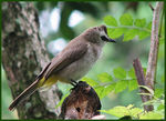 Title: A Bulbul with a Yellow Vent