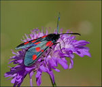 Title: Narrow-bordered Burnet Moth
