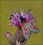 Title: Another Uncommon Burnet Moth