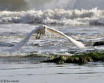 Title: Egret in Flight