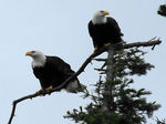 Title: Bald Eagle Pair *New Camera*