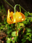 Title: Tigger Lilly 1