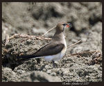 Title: Collared pratincole