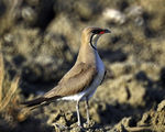 Title: COLLARED PRATINCOLE (Glareola pratincola