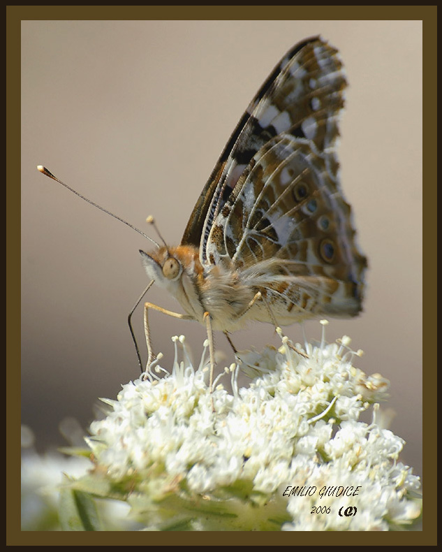 Painted Lady (Vanessa cardui )