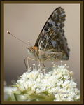 Title: Painted Lady (Vanessa cardui )