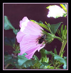 Title: Bee on a Rose of Sharon Flower