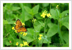 Title: Silver Bordered Fritillary