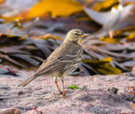 Title: What Pipit, that's the question?
