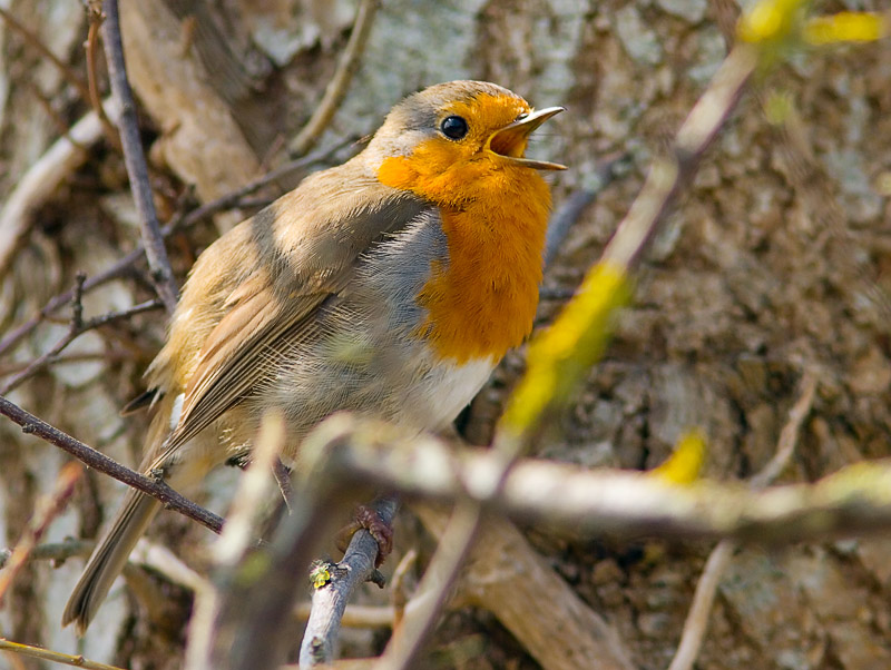 Song from a Robin