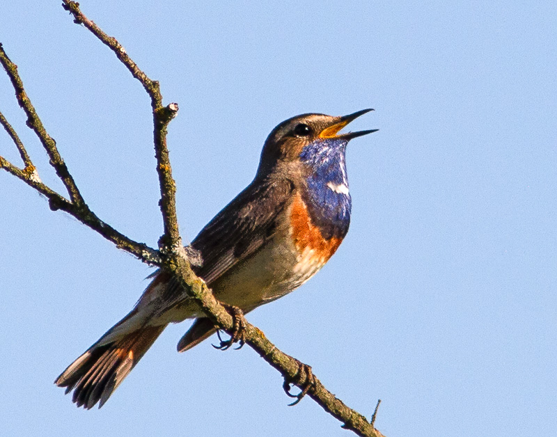 Bluethroat, The Nordic Nightingale,