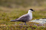 Title: Long-tailed Skua