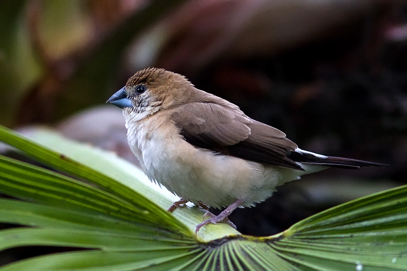 Indian silverbill in France!
