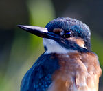 Title: Portrait of a kingfisher