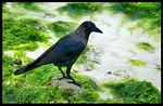 Title: Crow