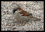 Title: House Sparrow (male)