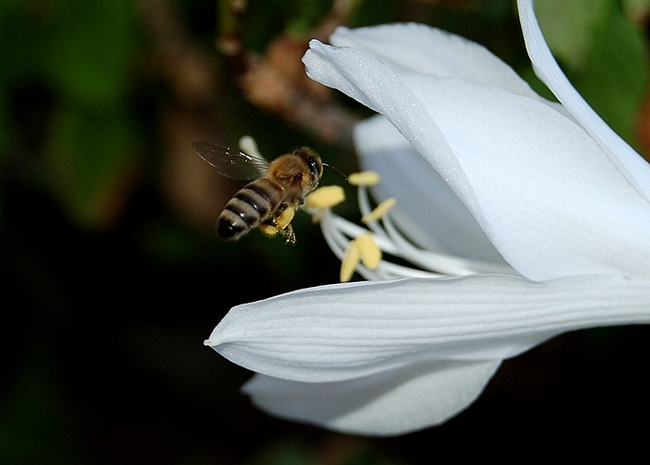 bee and white beuty