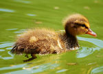 Title: baby duck
