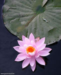 Title: Pink water lily