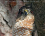 Title: Coopers Hawk