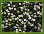 Title: Top Down Daisies
