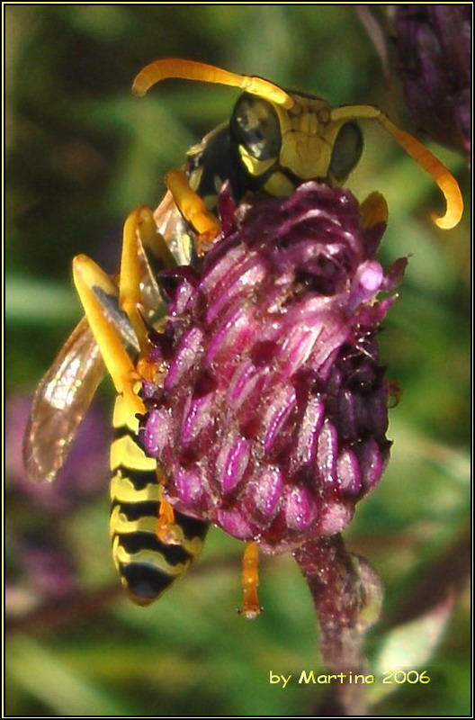 The Wasp - Paravespula vulgaris