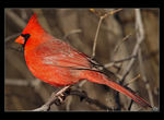 Title: Cardinal Close-Up