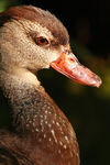 Title: Duck
