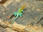 Title: Common Collared Lizard