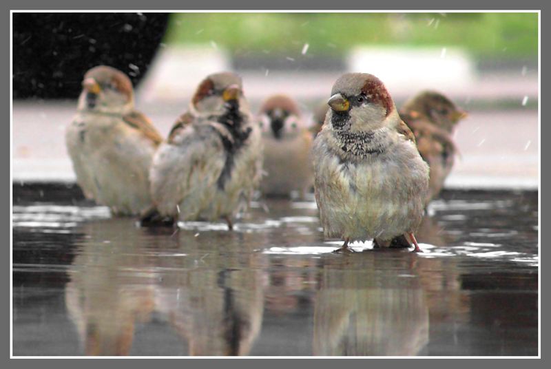 Sparrow Army Attacking