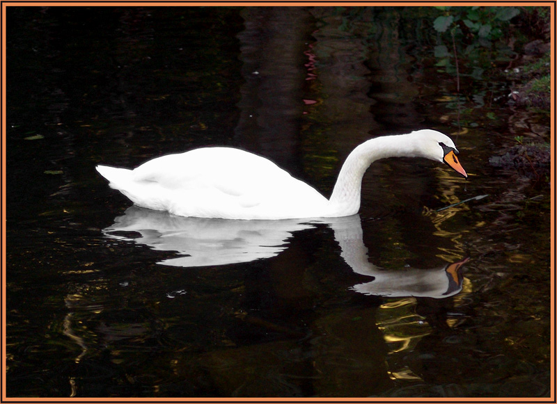Swan & Reflection