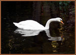 Title: Swan & Reflection