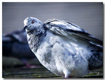 Title: Winter Pigeon